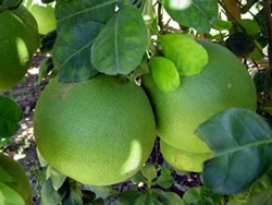 pomelorotplantage.jpg