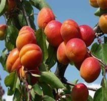 Aprikosenbodensee.jpg